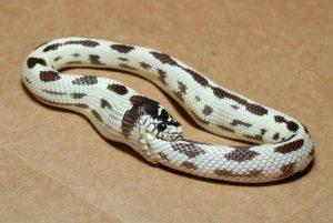 Sognare serpente che si morde la coda