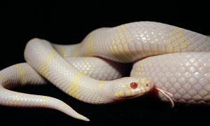 Sognare un serpente albino