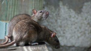 sognare topi