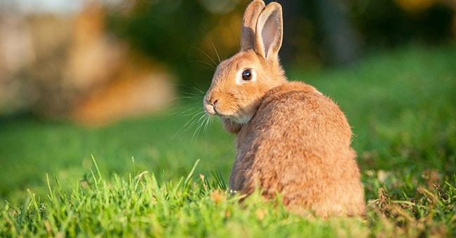 sognare il coniglio